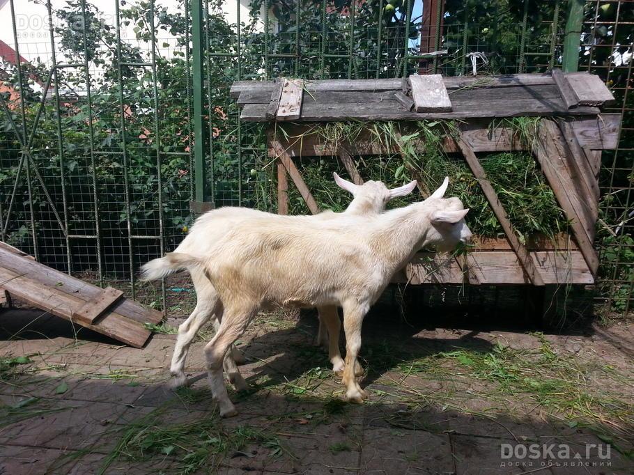 Доска.ру Сельхоз животные - Козы Продаются породистые ...: http://www.doska.ru/msg/agriculture/animal-husbandry/agricultural-animals/goats/fxjfd.html