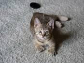 Кошки, котята Пиксибоб, Фото