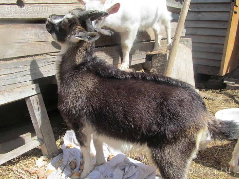 Доска.ру Сельхоз животные - Козы Продается козлик молочный ...: http://www.doska.ru/msg/agriculture/animal-husbandry/agricultural-animals/goats/hjoxk.html