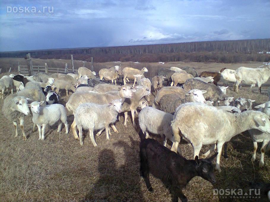Доска.ру Сельхоз животные - Бараны, овцы Продаются овцы на ...: http://www.doska.ru/msg/agriculture/animal-husbandry/agricultural-animals/rams-sheeps/gcxfm.html