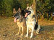 Собаки, щенки Восточно-Европейская овчарка, Фото