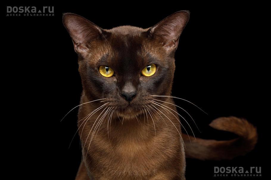 Sable burmese cat