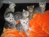 Кошки, котята Британская короткошерстная, цена 15 000 рублей, Фото