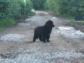 Собаки, щенки Ньюфаундленд, цена 35 000 рублей, Фото
