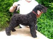 Собаки, щенки Керриблю терьер, цена 25 000 рублей, Фото