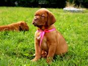 Собаки, щенки Бордосский дог, цена 45 000 рублей, Фото