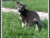 Собаки, щенки Восточно-Европейская овчарка, цена 15 000 рублей, Фото