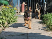 Собаки, щенки Немецкая овчарка, цена 40 000 рублей, Фото