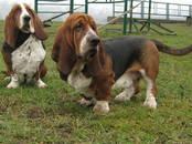 Собаки, щенки Бассет, цена 18 000 рублей, Фото
