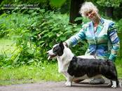 Собаки, щенки Вельш корги кардиган, цена 30 000 рублей, Фото