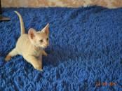 Кошки, котята Донской сфинкс, цена 10 000 рублей, Фото