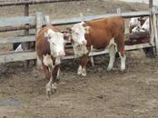 Животноводство,  Сельхоз животные Крупно-рогатый скот, цена 165 рублей, Фото
