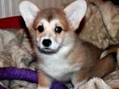 Собаки, щенки Вельш корги пемброк, цена 35 000 рублей, Фото