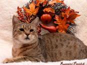 Кошки, котята Пиксибоб, цена 70 000 рублей, Фото