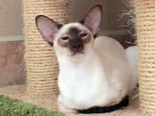 Кошки, котята Ориентальная, цена 25 000 рублей, Фото