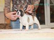 Собаки, щенки Французский бульдог, цена 20 000 рублей, Фото