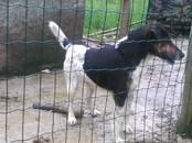 Собаки, щенки Гладкошерстный фокстерьер, цена 24 000 рублей, Фото