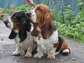 Собаки, щенки Бассет, цена 30 000 рублей, Фото