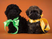Собаки, щенки Йоркширский терьер, цена 35 000 рублей, Фото