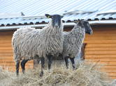 Животноводство,  Сельхоз животные Бараны, овцы, цена 3 000 рублей, Фото