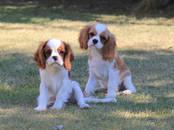 Собаки, щенки Кавалер-Кинг-Чарльз спаниель, цена 40 000 рублей, Фото