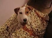 Собаки, щенки Джек Рассел терьер, цена 10 000 рублей, Фото