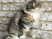 Кошки, котята Сибирская, цена 15 000 рублей, Фото
