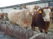 Животноводство,  Сельхоз животные Крупно-рогатый скот, цена 100 рублей, Фото