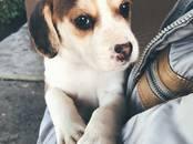 Собаки, щенки Эстонская гончая, цена 9 000 рублей, Фото