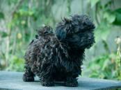 Собаки, щенки Цветная болонка, цена 30 000 рублей, Фото
