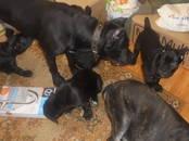 Собаки, щенки Кане Корсо, цена 25 000 рублей, Фото