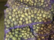 Продовольствие,  Овощи Картофель, цена 8 рублей/кг., Фото