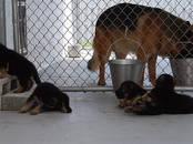 Собаки, щенки Немецкая овчарка, цена 20 000 рублей, Фото