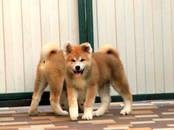 Собаки, щенки Акита-ину, цена 35 000 рублей, Фото