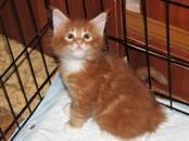 Кошки, котята Мэйн-кун, цена 20 000 рублей, Фото