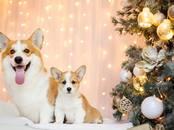 Собаки, щенки Вельш корги пемброк, цена 65 000 рублей, Фото