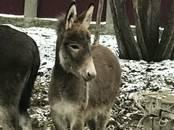 Животноводство,  Сельхоз животные Лошади, ослы, др., цена 40 000 рублей, Фото
