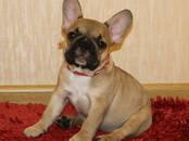 Собаки, щенки Французский бульдог, цена 30 000 рублей, Фото