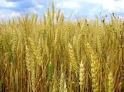 Продовольствие Зерно и мука, цена 4 500 рублей/т., Фото