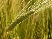 Продовольствие Зерно и мука, цена 6 500 рублей/т., Фото