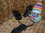 Грызуны Домашние крысы, цена 700 рублей, Фото