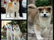 Собаки, щенки Акита-ину, цена 65 000 рублей, Фото