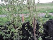 Домашние растения Плодовые деревья, саженцы, цена 2 000 рублей, Фото