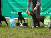 Собаки, щенки Стаффордширский бультерьер, цена 39 000 рублей, Фото