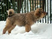 Собаки, щенки Тибетский мастиф, цена 40 000 рублей, Фото
