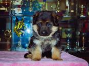 Собаки, щенки Немецкая овчарка, цена 30 000 рублей, Фото