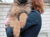 Собаки, щенки Немецкая овчарка, цена 24 000 рублей, Фото
