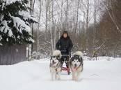 Собаки, щенки Аляскинский маламут, цена 18 000 рублей, Фото