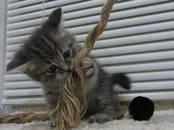 Кошки, котята Британская короткошерстная, цена 6 000 рублей, Фото