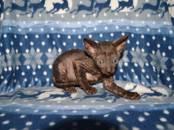 Кошки, котята Корниш-рекс, цена 30 000 рублей, Фото